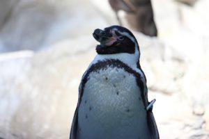 空を見上げるペンギン